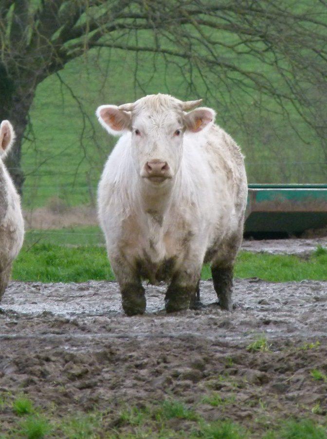 Maltraitance animale animaux de ferme
